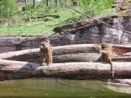 Scimmie1Fedi